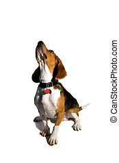 Isolated Beagle Dog