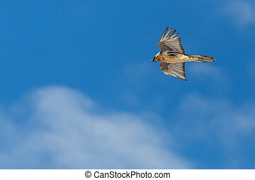 bearded vulture (gypaetus barbatus) flying in cloudy blue ...