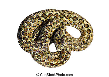isolated beautiful meadow viper