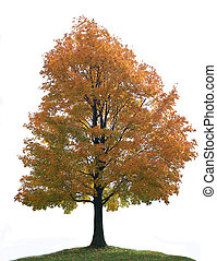 Isolated Big Lone Maple Tree - Isolated Colorful Big Lone...