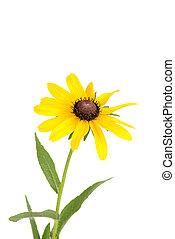 Isolated black eyed susan flower on white background