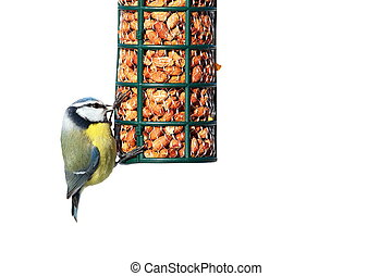 blue tit on garden feeder full of peanuts, isolated over white background ( Cyanistes caeruleus )
