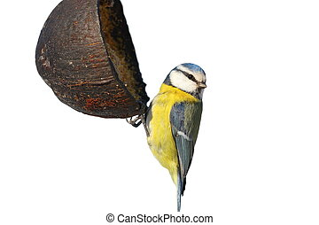 isolated blue tit on garden feeder