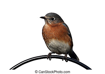 Isolated Bluebird On A Perch