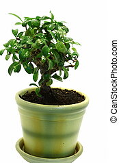 Isolated Bonsai in the pot