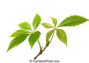 Isolated branches of ivy plant or grapes vine tree with leaves on white background. Spring flowers