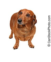 dachshund - isolated brown dachshund on the white background