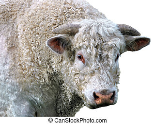 Isolated bull - Portrait a bull with curly fur isolated on ...