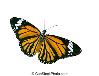 Isolated Butterfly with clipping path