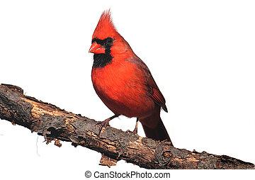 Isolated Cardinal On A Stump - Northern Cardinal (Cardinalis...