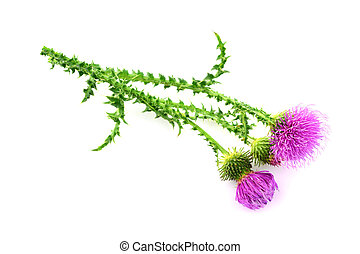 Isolated Carduus Flower Plant.