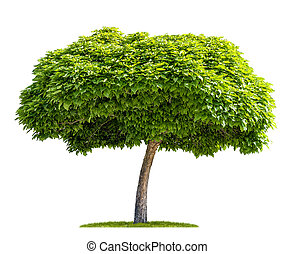 isolated catalpa tree on a white background
