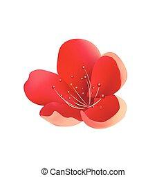 isolated., cereja, flor, árvore, sakura