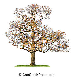 isolated chestnut tree in the winter