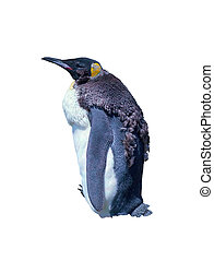 Isolated chick emperor penguin