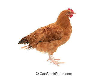 a whole red chicken isolated over white