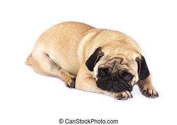 isolated., chien pug, sad., regarder, mensonge