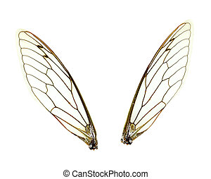 Isolated Cicada (Jar FLy) Wings - Two seperate Cicada (Jar...