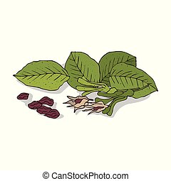 Isolated clipart Shorea robusta - Isolated clipart of plant...
