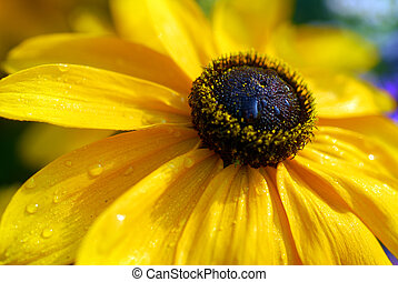 black eyed susan yellow rudbeckia flower - isolated closeup...