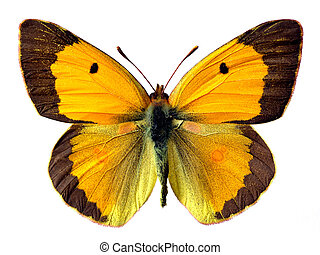 Isolated Colias butterfly