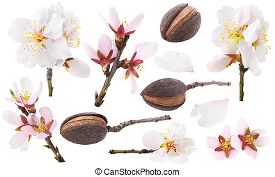 Isolated collection of almond tree blossoms and fruits