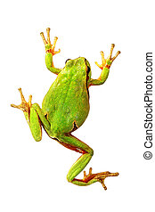 isolated colorful tree frog - colorful tree frog isolated...