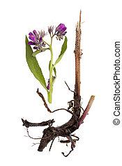 isolated., comfrey, flor, raíz