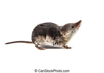Isolated Common shrew (Sorex araneus) with clipping path - ...