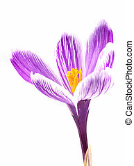 Isolated crocus