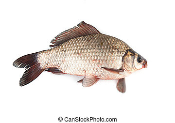 Isolated crucian carp. kind of fish from the side. Live fish...