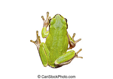 isolated cute european tree frog - cute european green tree...