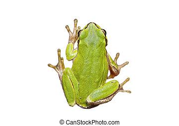 isolated cute european tree frog - cute european green tree...