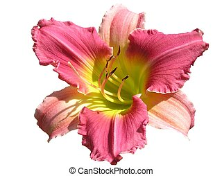 Final Touch - Isolated Daylily hybrid: Final Touch. This ...