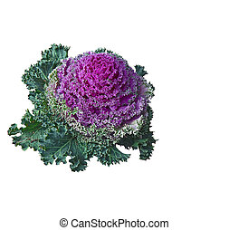 isolated., dekorativ, (brassica, grünkohl, oleracea).