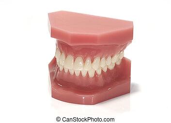 Dental Model - Isolated Dental Model