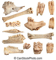isolated different animal bones - isolated collection of...