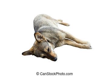 isolated dog lying