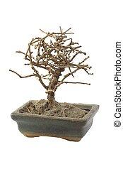 Isolated dried bonsai