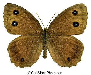 Isolated Dryad butterfly - Dryad butterfly (Minois dryas)...