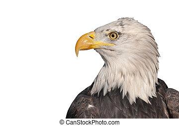 isolated eagle
