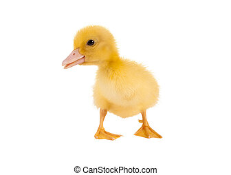 Isolated easter duckling
