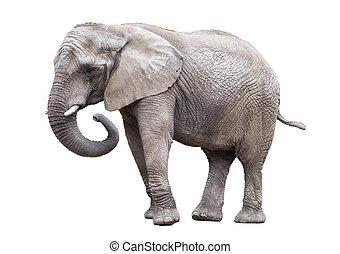 isolated., elefant