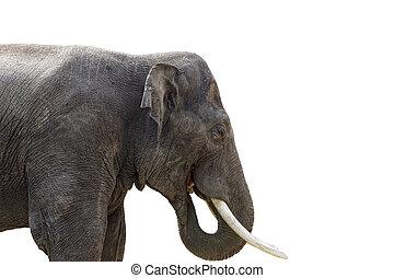 Isolated elephant on white background