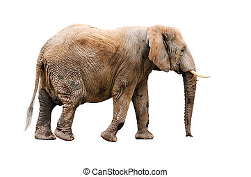 elephant - isolated elephant