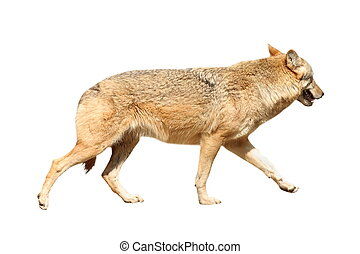 isolated eurasian wolf