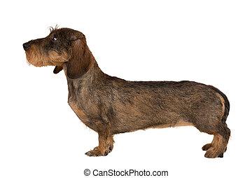 isolated female portrait of brown dachshund, european ...