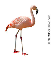 isolated flamingo - Red caribbean flamingo isolated on white...