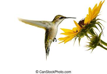 isolated., fleur, colibri