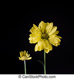 isolated., flores, dois, amarela